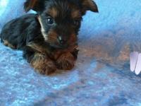Little boy Yorkie. Will be ready to go in a few weeks.
