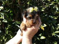I have a sweet caring female Yorkshire terrier. She