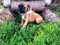 I have 5 sweet loving playful boxers. CKC REGISTERED!