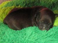 Adorable Peekapoo puppies born June 11th 2014 3 boys
