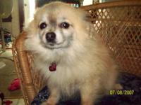 My beautiful small Pomeranian needs a new home as I