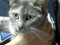 DSH young female feline - FREE - recently purified and