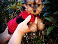 I have a sweet loving 11wk yorkie. She evaluates 1.8