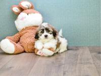 Sweet M/F TLC Shih Tzu puppies now available. Up to