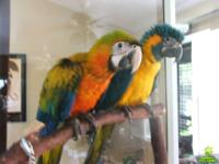 SWEET MACAW BIRDS .Text or call (. They are very