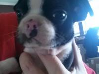 Sweet Boston Terrier Puppy. He has been dewormed and