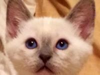 We have one male Siamese/Balinese kitten left out of