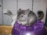 I have a sweet male standard grey Chinchilla for sale.