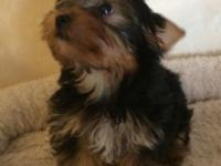 I have 1 male purebred Yorkie boy just 11 weeks old.