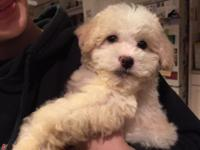 Really sweet female maltipoo puppy readily available.