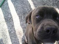 Cane Corso Mastiff Full Breed w/out papers Female 5 1/2