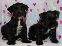 These lovely black, black & silver puppies are so sweet