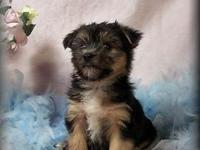 We have an adorable litter of Morkie puppies, ready for