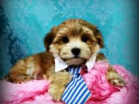 Come see our adorable litter of Morkie puppies, now