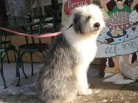 I have an Old English Sheepdog puppy about 11 months