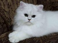 I have a shaded silver chinchilla persian kitty for