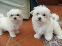 Sweet & playful Maltese for adoption. They are 12 weeks