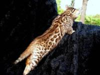 """Isabella"" is a beautiful TICA registered Bengal kitten"