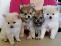 I have 4 Pomeranian adorable Pomeranian puppies, 2