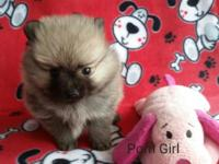 Adorable female pomeranian puppy born August 6th. AKC