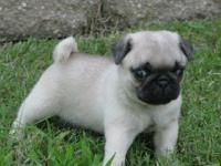 Sweet Pugs Puppies For A Good Home  We have a