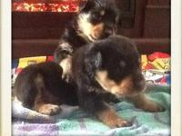 We have 3 CKC Rottweiler puppies for sale. We have 3