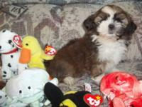 Adorable male Shih Tzu puppy ready for his new home.