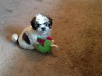 I have an 8 week old shih-tzi young puppy for sale she
