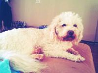 3yr old male shih poo , extremely sweet n cuddly. Needs