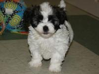 These cute Parti Shih Poos will make an exceptional