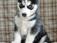 Animal Type: Dogs Breed: Siberian Husky We got Three