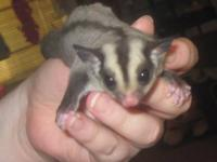 I have a very sweet baby sugar glider that I am trying