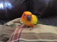 Beautiful and Sweet Sun Conure for adoption named