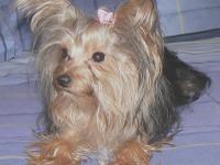 I HAVE A VERY SMALL FEMALE YORKIE FOR SALE.  SHE