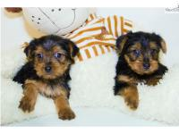Hi, I have beautiful Teacup Yorkie puppies available in