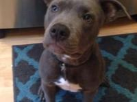 Pure bred UKC Blue nose. He is almost 5 months old. Is