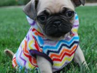 Animal Type: Dogs Breed: Pug Sweet, very affectionate,
