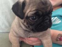 Sweet, very affectionate, pug dog,approx. 2.5 lbs.,