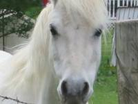 We have a 9-year-old Welsh Mountain Pony for sale. I am
