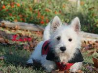 Sweet westie baby boys. 10 to 13 weeks old. Ready for
