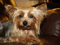 Two sweet yorkie adults looking for a loving home of