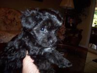 I have 1 female Yorkie Poo 4 sale. She is 5 months old