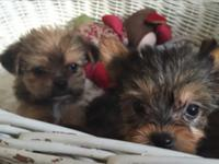 AKC Yorkshire Terriers with cute faces and unique