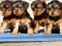 Lovely Male And Female Teacup Yorkie Puppies which we