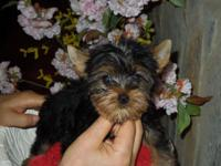 We have a sweet male Yorkshire Terrier young puppy.