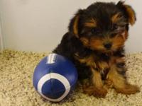 We have two traditional Yorkies (black and tan) ready