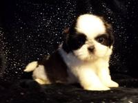 I am a friendly little Shih Tzu that will loves
