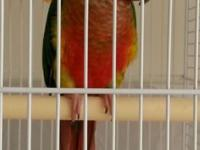 High red yellow sided green cheek conure baby,