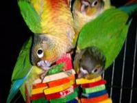 Sweet handfed normal green cheek conure babys weaned