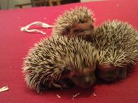 I have three incredibly adorable baby hedgehogs that